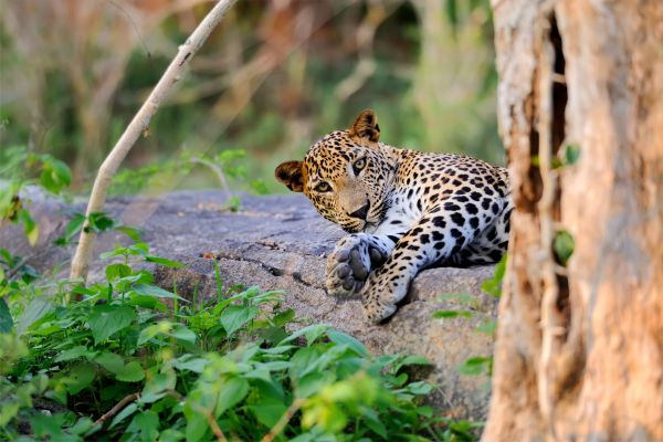 Leopard Tier Wildlife Poster P0157